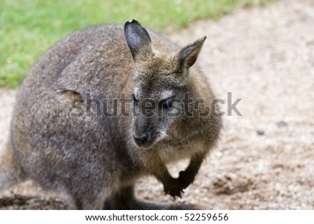 photo of a cute wild Kangaroo in the park