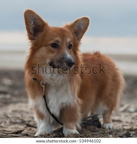 Photo of a dog with the lead (breed welsh pembroke corgi fluffy, red colored) standing on the sand on a beach on the sun set