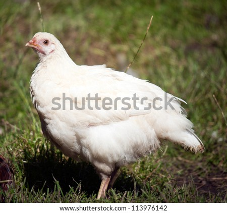 Photo of a farm yard chicken