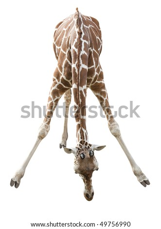 Photo of a giraffe isolated over white