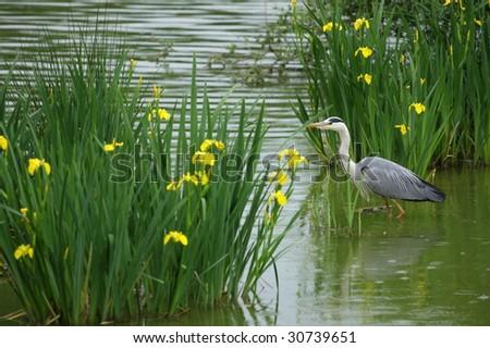 photo of a grey heron - stock photo