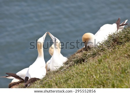 Photo of a group of gannets on Bempton Cliffs on the east coast of England, UK - stock photo