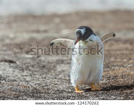 Photo of a little Gentoo penguin.  Falkland Islands, South Atlantic Ocean, British Overseas Territory - stock photo