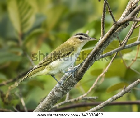 Photo of a red-eyed vireo perched on a branch.   Taken in a New England forest. - stock photo
