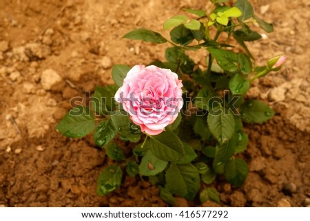 Photo of a small rose bush with a tender pink flower.  Fresh green rose bush in garden. Rose bush with blooming flower and flower bud. Rose in bloom. Garden flower with green leaves and pink petals. - stock photo