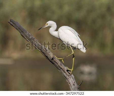 Photo of a Snowy Egret perched on a log taken at a wildlife refuge in Cape Cod Massachusetts. - stock photo