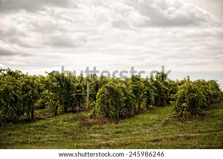 Photo of a typical grape vineyard on a cloudy day. - stock photo