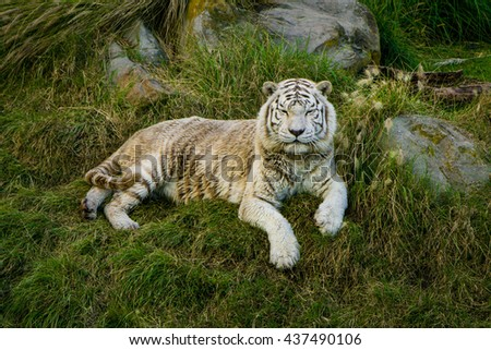 photo of a white tiger