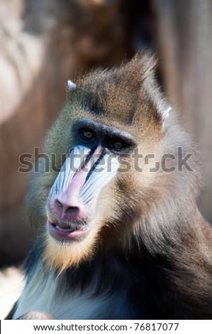 Photo of a wild Mandrill Monkey - stock photo