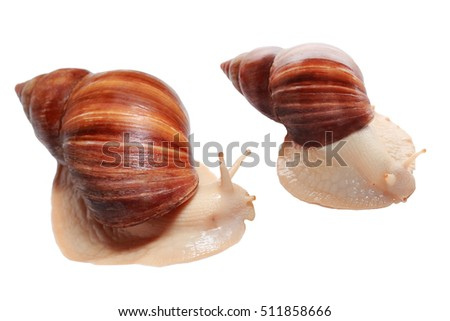 Photo of Achatina with cornicle up on white background