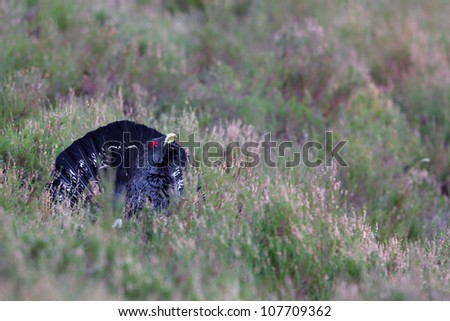Photo of an adult male Capercaillie displaying in a forest in the Scottish highlands. Largest member of the grouse family.