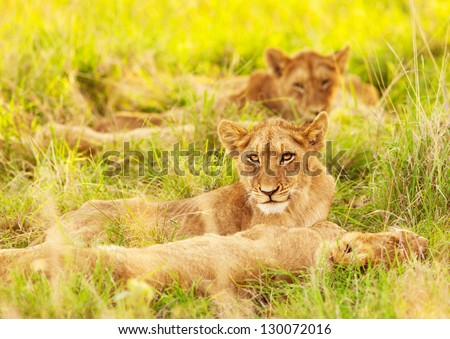 Photo of an African lion cubs , South Africa safari, Kruger National Park reserve, wildlife safari, cute small lioness child, exotic wild nature, mammal wild animal family lying down on green grass - stock photo