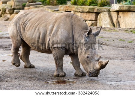 Photo of an african white rhinoceros in Dublin zoo