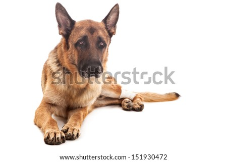 photo of an injured german shepherd over white isolated background - stock photo
