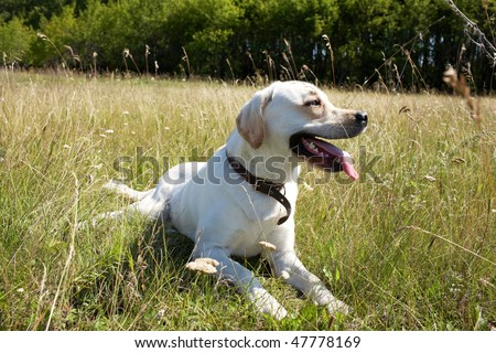 Photo of  beautiful big dog with tongue hanging out - stock photo