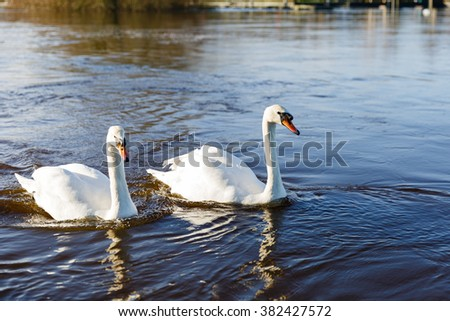Photo of beautiful white swans on the river - stock photo