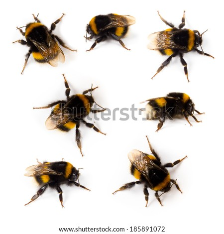 Photo of bumblebee collection isolated on white - stock photo