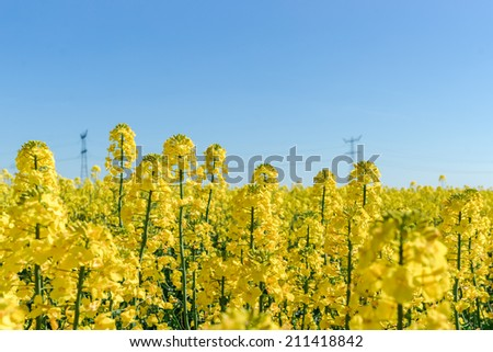Photo of canola, rapeseed flower blooming at crops field. - stock photo