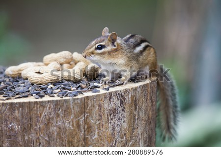 Photo of Chipmunk taken at cabin, Ottawa Valley May 2015.  Chipmunk sitting on stump, ready to take some seeds and peanuts from tray.