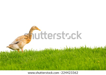 Photo of domestic duck on grass field isolated on white - stock photo