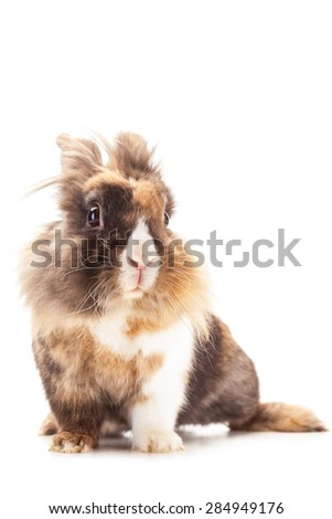 Photo of dwarf rabbit lions head over white isolated background