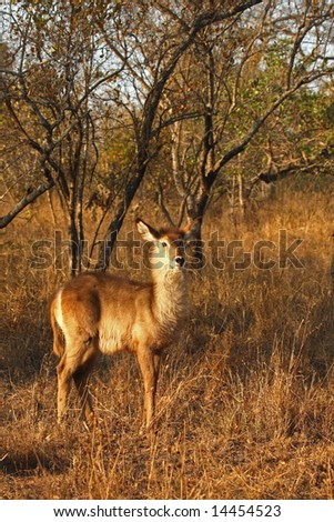 Photo of Female Waterbuck taken in Sabi Sands Reserve in South Africa