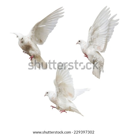 photo of flying doves isolated on white background - stock photo