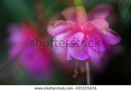Photo of fuchsia shot with a macro lens. - stock photo