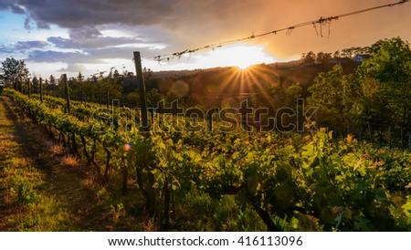 Photo of grape leaves background warm yellow sunbeam through fresh tree leaves [INTERNATIONAL LIGHT FLARE] - stock photo