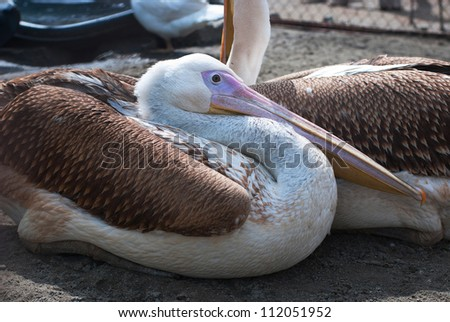 Photo of great white pelicans closeup - stock photo