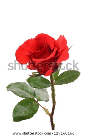 Photo of Isolated Rose