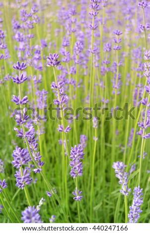 Photo of Lavender flowers in Podebrady, Czech republic - stock photo