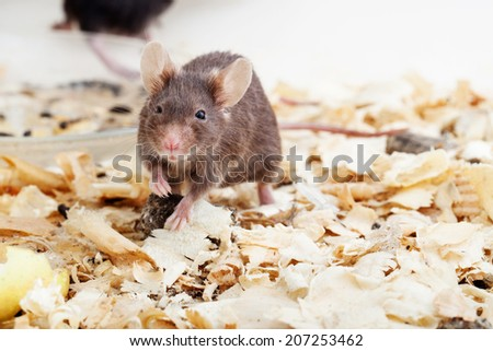 Photo of little brown mouse on sawdust - stock photo