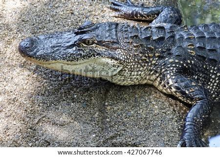 photo of one  aggressive Crocodile wild animal - stock photo