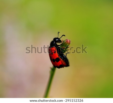 Photo of red beetle on a flower - stock photo
