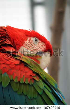Photo of red parrot Macaw