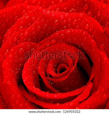 Photo of red rose background, beautiful fresh flower with dew drops on petals, abstract natural backdrop, birthday greeting card, romantic present, Valentines day, wedding postcard, love concept - stock photo