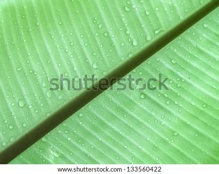 photo of season of Banana leaves and drop water / Banana leaves background - stock photo
