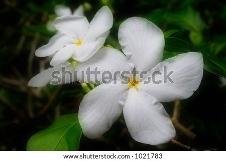 Photo of some white gardenias