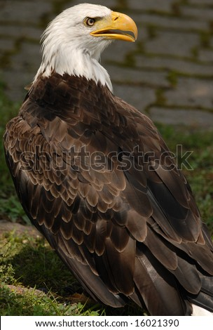 Photo of tethered Bald Eagle - stock photo