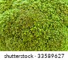 photo of the fresh green broccoli background - stock photo