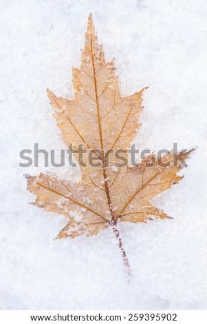 Photo of the maple leaf on snow, closeup - stock photo