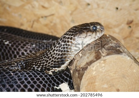 Photo of the Ringhals (South African Spitting Cobra) - stock photo