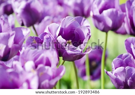 Photo of the Violet Tulip Over Green - stock photo