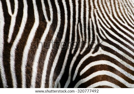 Photo of the Zebra Fur Background