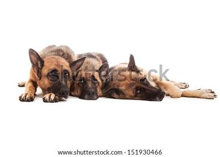 Photo of three isolated german shepherds over white background - stock photo