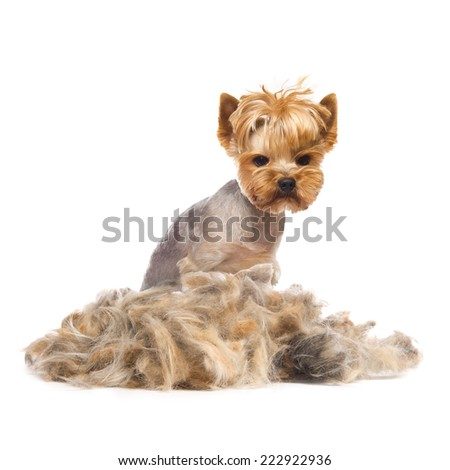 Photo of trimmed Yorkshire Terrier with heap of fur isolated on white - stock photo