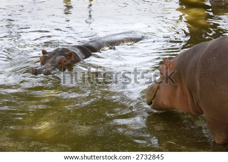 Photo of two large, adult hippos at the Leon Zoo.
