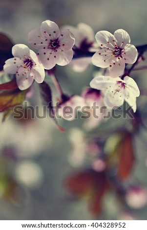 Photo of white cherry tree flower in spring. Blossom tree. Nature background. Sunny day. Spring flowers. Beautiful Orchard. Abstract blurred background. - stock photo