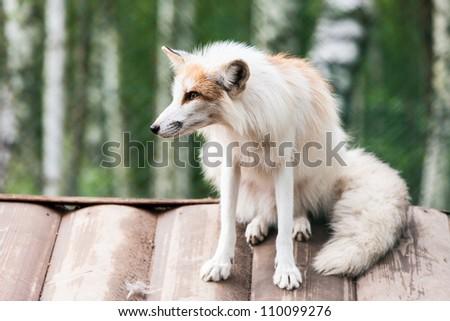 Photo of white fox - stock photo